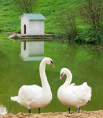 Pair of white swans — Stock Photo