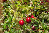 Wild cranberries growing — Stock Photo