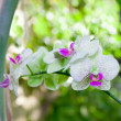 Stock Photo: Twig of blooming orchids