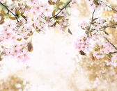 Sakura blossoms — Stock Photo