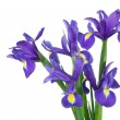 Irises on a white background — 图库照片