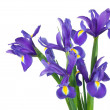 Irises on a white background — Stockfoto