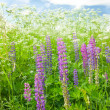 Foto Stock: Meadow lupine