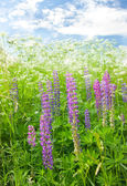 Meadow lupine — Stock Photo