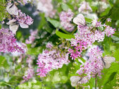 Lilacs and butterflies — Stock Photo