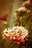 Beautiful dahlias — Stock Photo