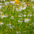 White perennial asters — Stock Photo