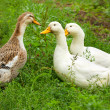 Stock Photo: Three ducks on green lawn