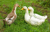 Three ducks on a green lawn — Stock Photo