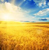 Campo de trigo sol — Foto Stock