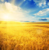 Sunny wheat field — Stock fotografie