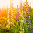 Flowers in sunset light — Stock Photo