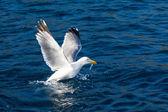 Seagull bird take-off — Stock Photo