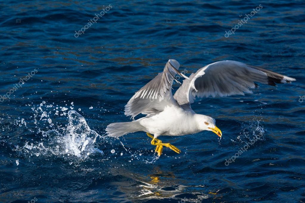 лови чайку
