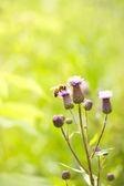 Bi på blomma — Stockfoto