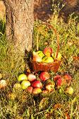 Košík s jablky — Stock fotografie