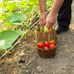 Picking fresh tomatoes — Stock Photo