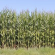 British Columbia Corn or Maize — Stock Photo