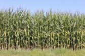 British Columbia Corn or Maize — Stock Photo