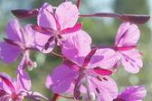 野生の紫色の花が咲く — ストック写真