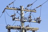 Starlings — Stock Photo