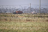 Flock of Starlings — Stock Photo
