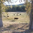 Cattle graze in rural countryside — Stock Photo #13736702