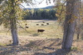 Cattle graze in rural countryside — Stock Photo