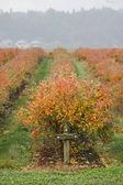 秋季蓝莓 — 图库照片