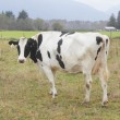 Black and White Dairy Cow - Foto de Stock