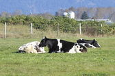 Dairy Cows Resting — Stock Photo