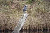Large Blue Heron — Stock Photo