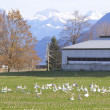 Snow Geese Resting — Stock Photo