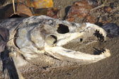Male Salmon Corpse — Stock Photo