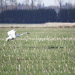Stock Photo: Snow Goose Landing