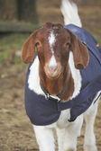 Wrap or Comforter for Livestock — Stock Photo