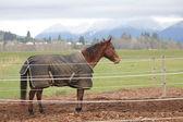 Horse Wearing Rug or Comforter — Stock Photo
