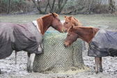 Horses Share Bundled Hay Bale — Stok fotoğraf