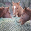 Horses Sharing Hay Bale - Stock Photo