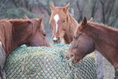Horses Sharing Hay Bale — Stock Photo