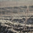 Hoar Frost on Crops — Stock Photo #19179949