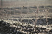 Hoar Frost on Crops — Stock Photo