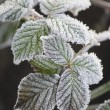 Frost on Blackberry Leaves — Stock Photo