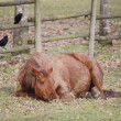 Tired Horse Rests in Field — Foto de Stock