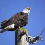 An American Bald Eagle — Stock Photo #19723551