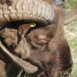 Close on an Icelandic Ram — Stok fotoğraf