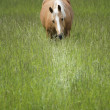 Stock Photo: Mare in Tall Grass