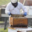 Beekeeper Lifting Honey Frame — Photo