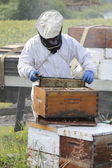 Beekeeper Lifting Honey Frame — Stock Photo