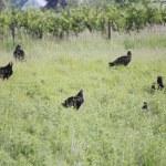 Turkey Vultures Socialize in Field — Stock Photo